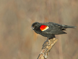 Male Red-Winged Blackbird (Agelaius Phoeniceus)  Maine  USA