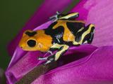 Imitating Dart Frog (Ranitomeya Imitator)  Peru