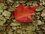 Red Maple Leaf on Birch Bark  White Mountain National Forest  New Hampshire