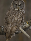 Great Gray Owl  Strix Nebulosa  North America
