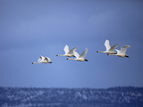 Tundra Swans in Flight  Cygnus Columbianus  Klamath Basin  Klamath Falls  Oregon