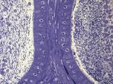Cross-Section of the Epididymis  LM X150