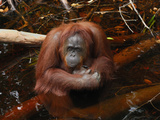 Borneo Orangutan Female Sitting in Water (Pongo Pygmaeus) Kalimantan