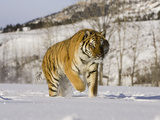 A Siberian Tiger (Panthera Tigris Altaica) an Endangered Species