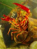 Red Swamp Crayfish (Procambarus Clarkii) Hiding in a Rusty Can