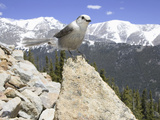 Gray Jay (Perisoreus Canadensis)