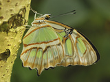 Pearly Malachite Butterfly (Siproeta Stelenes)  Nymphalidae  Colombia