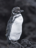 Galapagos Penguin Perched on Black Lava Rocks