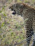 African Leopard Snarling  Panthera Pardus  Masai Mara Gr  Kenya  Africa