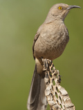 Curve-Billed Thrasher (Toxostoma Curvirostre)  Arizona  USA