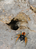 A Male Jumping Spider (Philaeus Chrysops) Defending its Partner Which Escaped into a Hole  Italy