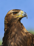 Golden Eagle Portrait  Captive  Aquila Chrysaetos