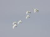 Tundra Swan (Olor Columbianus)  Montana  USA