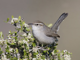 Bewick's Wren (Thryomanes Bewickii) Perched