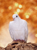 White Dove Perched on Tree Bark Against a Bright Warm Background of Light