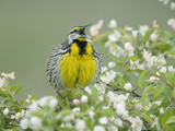 Eastern Meadowlark (Sturnella Magna) Singing