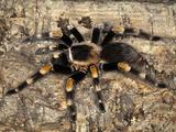 Mexican Red Knee Tarantula (Brachypelma Smithi)  Mexico