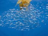 Jack Mackerel (Trachurus Symmetricus) in the Open Sea with a Drifting Giant Kelp  Paddy  San Diego