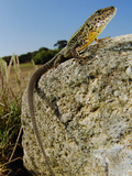 Male Lizard (Podarci Bocagei) on a Stone  Portugal