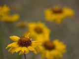Blanketflower (Gaillardia Aristata)  Sangre De Cristo Mountains  Colorado  USA