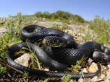 Melanistic Whip Snake (Hierophis Viridiflavus)  Sicily  Italy