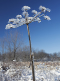 Ice Covered Plant