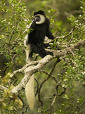 Black and White Colobus Monkey (Colobus Guereza) Sitting in a Tree  Masai Mara  Kenya
