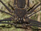 Tailless Whip Scorpion  Chelicerate Arachnid (Amblypygi  Phrynidae)