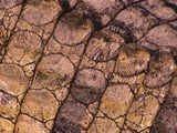 Nile Crocodile (Crocodylus Niloticus) Closeup of Living Reptile's Skin
