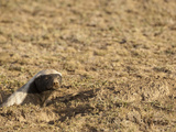 Honey Badger or Ratel at Den Opening (Mellivora Capensis)  Serengeti  Tanzania