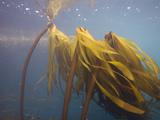 Bull Kelp (Nereocystis Luetkeana)  Point Lobos State Park  Monterey County  California  USA