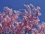 Blossoms of Prunus Cerasifera (Prunus Cerasifera)