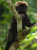 Goeldi's Marmoset (Callimico Goeldii)  Amacayacu National Park  Colombia