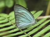 Common Wanderer Butterfly (Pareronia Anais)  Pieridae  Sri Nakarin National Park  Thailand