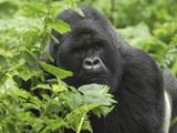 Silverback Mountain Gorilla (Gorilla Beringei Beringei)  Volcanoes National Park  Rwanda