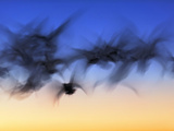 Abstract Motion Blur of Snow Geese in Flight