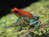 Granular Poison Frog (Oophaga Granuliferus)  Corcovado National Park  Costa Rica