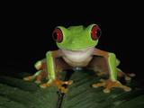 Red-Eyed Tree Frog (Agalychnis Callidryas)  Cahuita National Park  Costa Rica