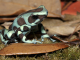 Green and Black Poison Dart Frog (Dendrobates Auratus)  Captive