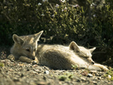 South American Gray Foxes Resting (Pseudalopex Griseus)  Chile  South America