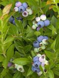 Wild Blueberries  Maine  USA