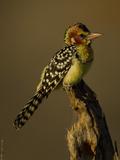 Red and Yellow Barbet  Trachyphonus Erythrocephalus  Kenya  Africa