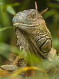 Iguana (Iguana Iguana)  Costa Rica