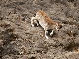 Walia Ibex Climbing on Rock Cliff (Capra Walie)  Simien Mountains National Park  Ethiopia