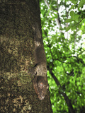 Henkel's Leaf-Tailed Gecko on a Rainforest Tree Trunk (Uroplatus Henkeli)