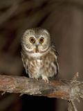 Northern Saw-Whet Owl (Aegolius Acadicus)  Maine  USA