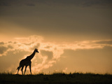 Masai Giraffe (Giraffa Camelopardalis) at Twilight in the Masai Mara Game Reserve  Kenya