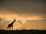 Masai Giraffe (Giraffa Camelopardalis) at Twilight in the Masai Mara Game Reserve  Kenya