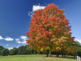 Red Maple Tree in Autumn Colors  Near Concord  Massachusetts