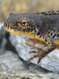 Head of an Alpine Newt (Mesotriton Alpestris)  Italy